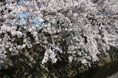 用水路沿いの桜.jpg